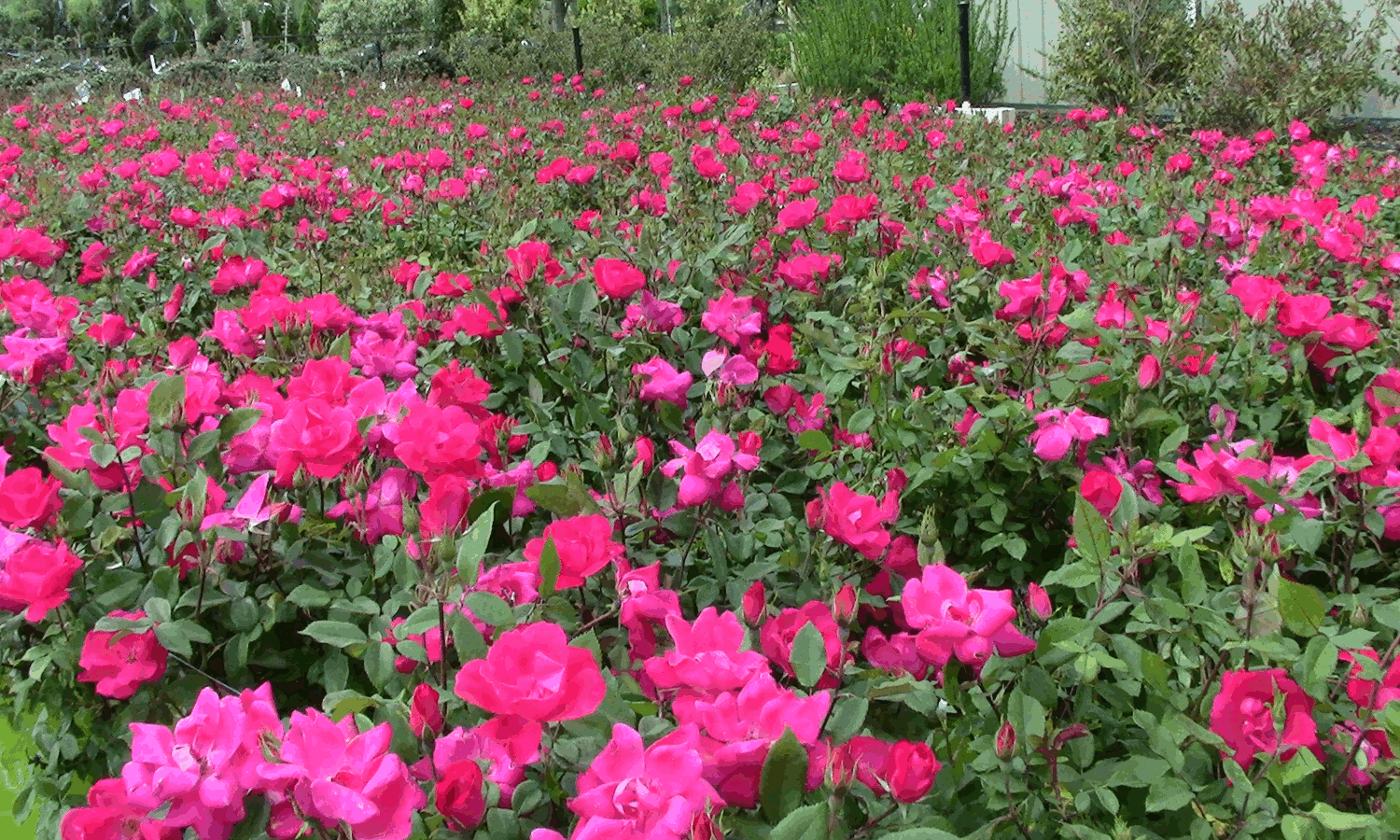 Full Bloom at Country Springs Wholesale Nursery