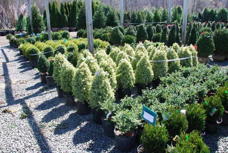 Assorted Boxwoods