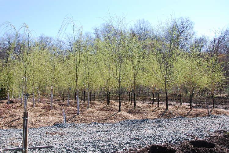 Golden Weeping Willow